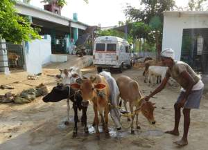 Calves and buffalo calf at Visakha SPCA pinjarapole. (Help Animals India photo)