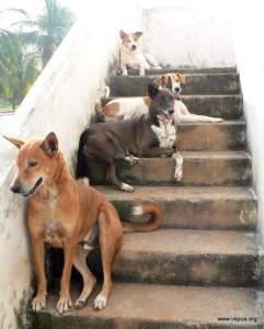 Indian street dogs. (Visakha SPCA photo)