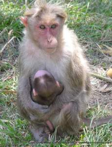 Mother & baby macaque. (Eileen Weintraub photo)