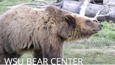 What stinks at the Washington State University Bear Center?