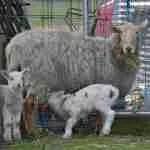 Did botched pre-Ramadan sheep shipment start an epidemic?