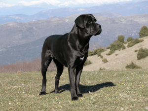 Generic photo of Cane Corso from Wikipedia shows size of the breed.