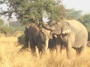 Wildlife SOS elephants eating natural diet of foliage.   (Wildlife SOS photo)