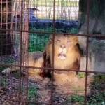 Big Cat Rescue:  remembering every large & exotic cat