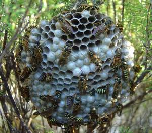Yellow paper wasp's nest. (Wikipedia photo)