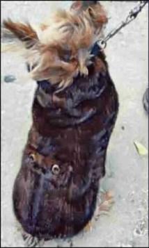 Yorkie dog wearing a mink coat