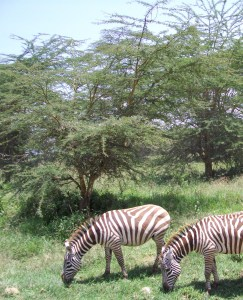 Zebras migrate along the same routes as wildebeest. (Merritt Clifton)