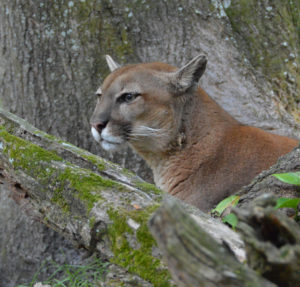 Puma at Big Cat Rescue. (Beth Clifton photo)