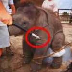 Oakland bans elephant hooks
