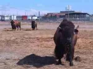 Captive bison herd at CSU Foothills Campus following rabies outbreak. (Jon Geller)