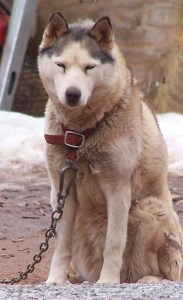 Chained husky. (Dogs Deserve Better photo)