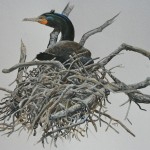 Double-crested cormorant,  by Barry Kent Mackay