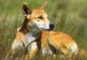 Dingo. (www.ehp.qld.gov.au)