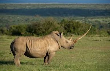 Rhino from the Solio Ranch herd. (Solio Ranch photo)