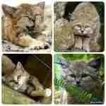 Genie,  the Big Cat Rescue sand cat