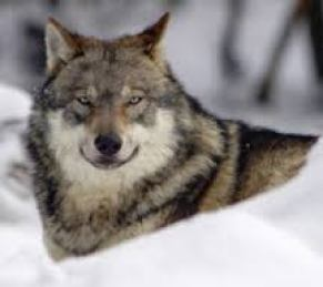 Wolf image used by HSUS during the Michigan campaign. (HSUS photo)
