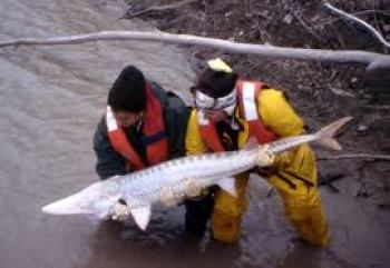 Pallid sturgeon. (U.S. Fish & Wildlife Service photo)