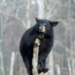 A win for wolves in Michigan,  but a loss for bears in Maine
