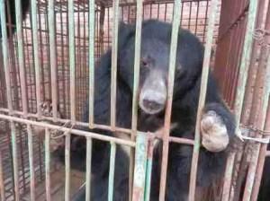 Animals Asia Foundation photo of Cau Trang Bear Farm bear with missing paw.