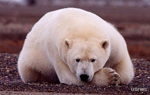 Polar bear. (U.S. Fish & Wildlife Service photo.)