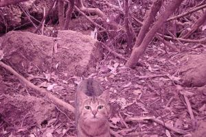 One of researcher Billie Lazenby's infrared images of feral cats taken by trail cameras.