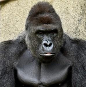 Harambe. (Cincinnati Zoo photo)