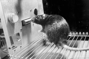 Rat used in B.F. Skinner experiment circa 1950.