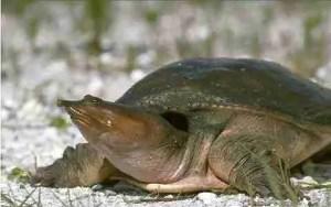 Florida softshell turtle (USGS)