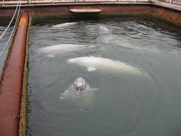 Captive belugas in the Sea of Ohkotsk. (Whale & Dolphin Conservation Society photo)