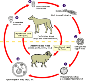 Echinococcus tapeworm life cycle