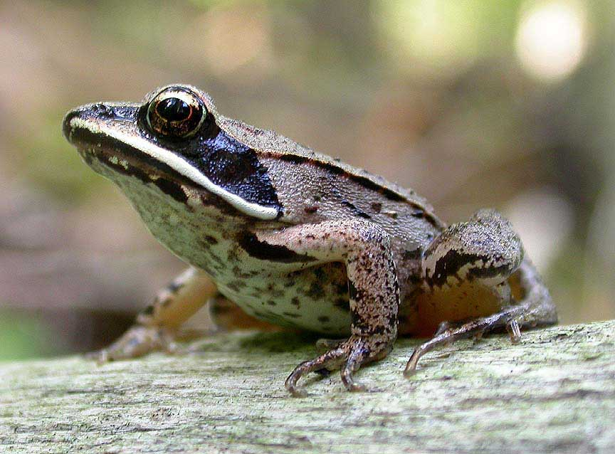 Image result for wood frogs