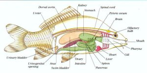 Fishes  Facts, Characteristics, Anatomy and Pictures