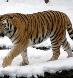 siberian tiger [ 1050 x 757 Pixel ]