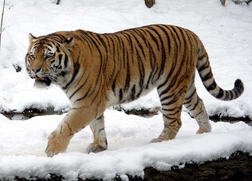 hight resolution of siberian tiger
