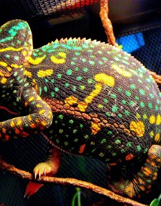 Veiled chameleon changing colors also facts habitat diet baby pet care pictures rh animalspot