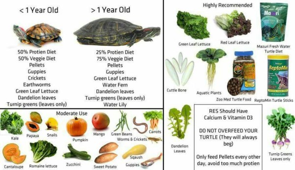 RedEared Slider Turtle Facts Habitat Diet Pet Care