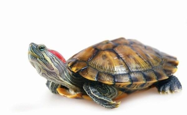 RedEared Slider Turtle Facts Habitat Diet Pet Care
