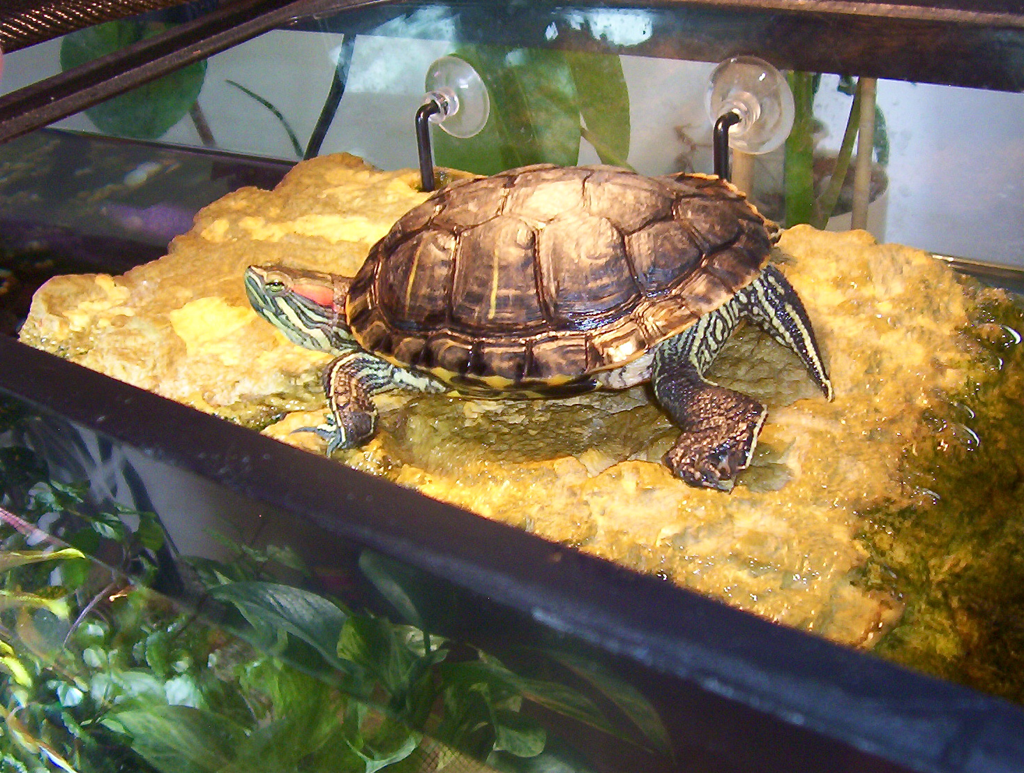 Red Eared Slider Turtle Facts Habitatt Pet Care Pictures