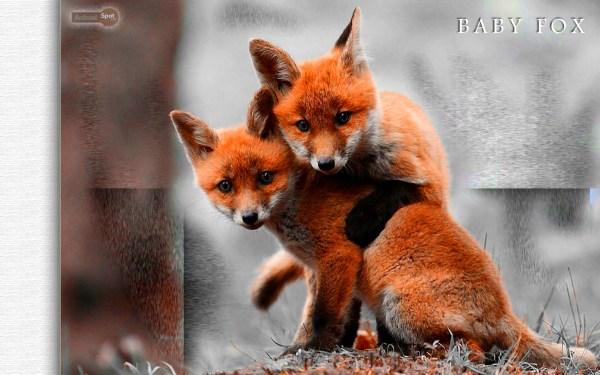 Fox Wallpapers Animal Spot