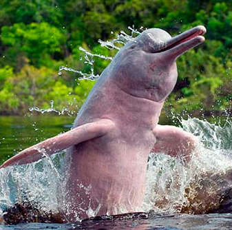 rainforest structure diagram cooker hob wiring pink amazon river dolphin facts, habitat, diet, life cycle, baby, pictures