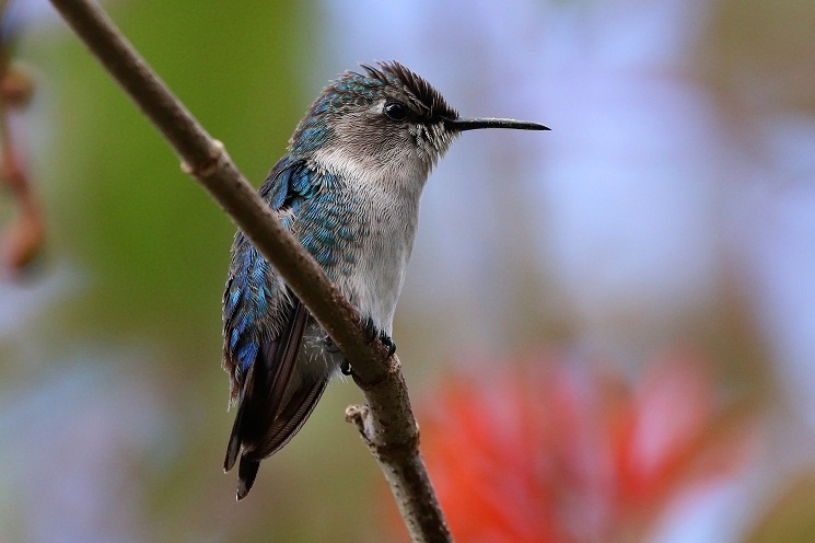hummingbird diagram of color wiring for shunt trip breaker bee facts habitat diet life cycle baby pictures