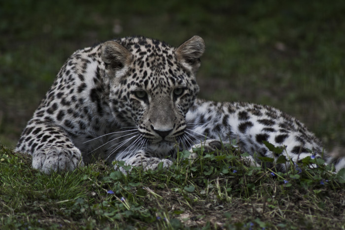 Black Panther Animal Wallpaper Persian Leopard Facts Habitat Diet Behavior Conservation