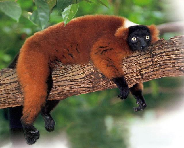 red-lemur