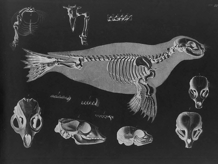 deer skeleton diagram software to make er harbor seal facts, habitat, behavior, predators, pictures