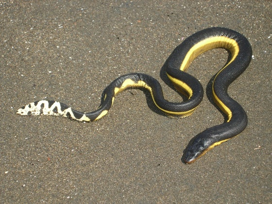 Image result for yellow bellied sea snake