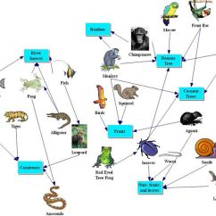 Coral Reef Food Chain Diagram 1991 Ezgo Marathon Wiring Rainforest Animals List, Adaptations, Pictures