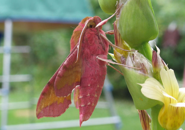Elephant Hawk Moth Facts Habitat Diet Life Cycle Baby Pictures