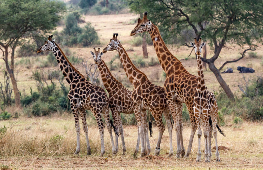 Rothschild's GiraffeFacts. Habitat. Diet. Life Cycle. Baby. Pictures