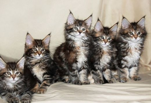 Forest Animal Wallpaper Maine Coon Buy Maine Coon Kitten From Russia Cats Buy