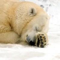 Adaptations Of A Polar Bear | Top 7 Adaptations